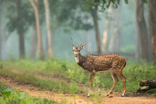Spotted Deer On A Foggy Morning From Nagarhole National Park From Karnataka India
