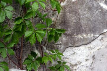 Kompozycja zielone liście na tle muru
