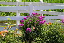 White Picket Garden Fence With Bright Yellow And Pink Purple Blooming Wild Flowers