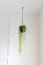 String Of Bananas In Modern Black Hanging Planter Against Board And Batten Accent Wall
