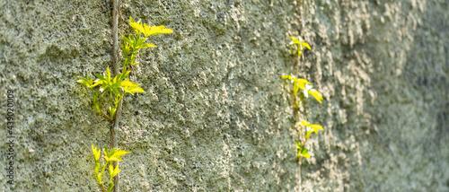 Fotografia, Obraz Plants growing on stone wall