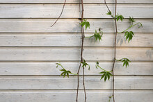Old Wooden Painted Wall With Ivy, Copy Space In Flat Surface