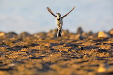 Close-up Photo Of A Young Wagtail On A Stony Beach At Dynamic Pose. White Pied Wagtail, Motacilla Alba.