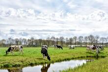 Typical Dutch, Land With Green, Flat Landscapes And Grazing Cows.  Typische Nederlands, Land Met Groene, Vlakke Landschappen En Grazende Koeien.