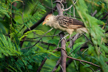 Scruffy-looking Bird Known As Guira Cuckoo Which Scientific Name Is Guira Guira, Looking For Food In The Forest. It Has A A Dark Brown Upperparts Streaked With White.