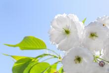 White Sakura Flowers On Blue Sky Background