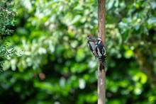 Woodpecker Feeding In A Garden, Dendrocopos Major