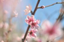 Durazno En Flor Y Un Cielo Celeste