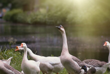 Group Of Geese In The Park