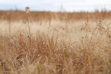 Autumn Landscape. Field Of Dry Grass.  Plants In The Foreground In Focus, Blurred Background. Gentle Warm Pastel Colors.