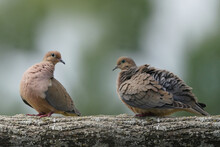 Mourning Dove Rousing, Raising Feathers To Trap Cooler Air, On Branch In Evening Light