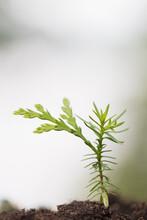 Eastern White Cedar Seedling (Thuja Occidentalis)
