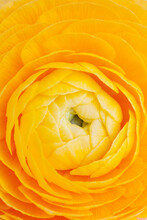Extreme Close-up Of Yellow Ranunculus Flower
