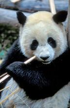 China, Sichuan, Chengdu, Giant Panda, (Ailuropoda Melanoleuca ) Eating Bamboo Sticks