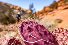 USA, Utah, Escalante, Prickly Pear Cactus In Grand Staircase-Escalante National Monument