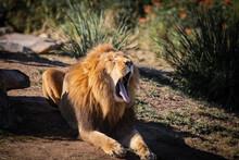 Sleepy Lion Yawning On The Ground.