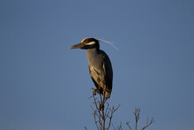 Yellow-crowned Night Heron (Nyctanassa Violacea) Yellow Crowned Night Heron Resting On The Top Of A Tree With A Clear Blue Sky In The Background