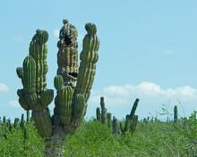 Cactus Maldito