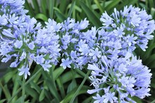 Blue Agapanthus (African Lily), Lily Of The Nile