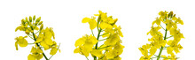 Canola Flower Isolated. Yellow Rape Flowers For Healthy Food Oil On Field. Rapeseed Plant, Canola Rapeseed For Green Energy. Brassica Napus Flowers.