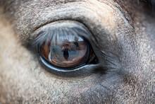 Auge / Pferd