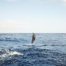 Single Jumping Bottlenose Dolphin Spotted In Sea Near Madeira, Portugal. Atlantic Ocean.