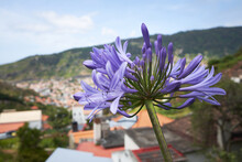 Closeup Of Blue African Lily (Agapanthus Africanus) In Funchal, Madeira, Portugal With City In Background.