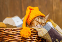 A Kitten Of The Abyssinian Breed Lies In A Blanket In A Wicker Basket In A Bright Yellow Hat Sprinkled With Dry Maple Leaves On A Wooden Background.