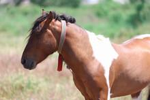 Wild Skewbald Horse Stands In Green Pasture
