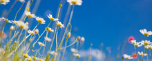 Idyllic Daisy Flower Background Under Blue Sky. Relax Dreamlike Floral Nature Closeup. Summer Bright Landscape With Beautiful Wild Flowers Chamomiles. Spring Summer Closeup Flowers, Relax Nature