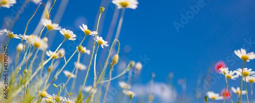 Vászonkép Idyllic daisy flower background under blue sky