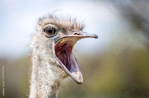 Murais de parede Ostrich with mouth wide open