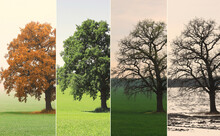 Abstract Image Of Lonely Tree In Winter Without Leaves On Snow, In Spring Without Leaves On Grass, In Summer On Grass With Green Foliage And Autumn With Red-yellow Leaves As Symbol Of Four Seasons