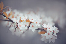 Delicate White Fragrant Cherry Blossoms Bloomed On The Branches On A Misty Spring Morning. Nature.
