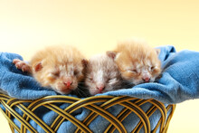 Three Red-haired Little Kittens Sleep In Wicker Basket On Blue Soft Fabric. Yellow Background With Copy Space