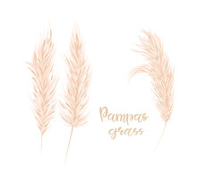 Pampas Grass Set. Floral Ornamental Grass On White Background. Feathery Flower Head Plumes, Used In Flower Arrangements, Ornamental Displays.Vector Illustration