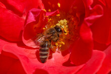 Bee Collecting Pollen In Red Rose
