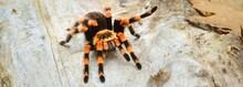 Birdeater Tarantula Spider Brachypelma Smithi In Natural Forest Environment. Bright Orange Colourful Giant Arachnid. Environmental Conservation, Wildlife, Biology, Arachnology Theme. Panoramic Image