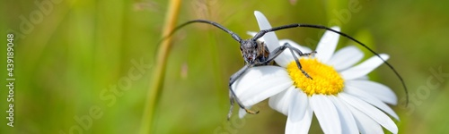 Fotografiet Cute black bug with long antennae sitting on a blooming white daisy on a summer meadow