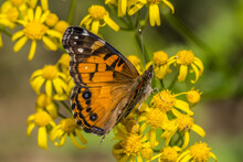 American Lady Butterfly On A Flower