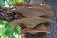 Close-up Of A Parasitic Fungus Growing On A Tree