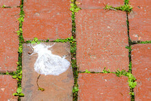 A Messy Dried Puddle Of White Pigeon Crap On A Brick Sidewalk. Grass And Clover Grows Between The Bricks. Room For Text.