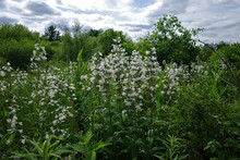 Foxglove Beardtongue Is A Species Of Flowering Plant In The Plantain Family Plantaginaceae. The Flowers Are White And Are Borne In Summer. It Is Native To Eastern Canada And The Eastern United States.