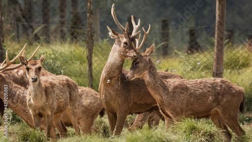 Canvastavla two Javan deer in captivity