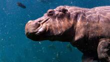 Portrait Of A Hippopotamus Swimming Underwater
