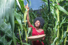 An Industrious And Hardworking African Lady Wearing A Red Dress And Afro Hair Style, Happily Working On A Green Maize Farmland Or Corn Plantation During Crop Harvest Period