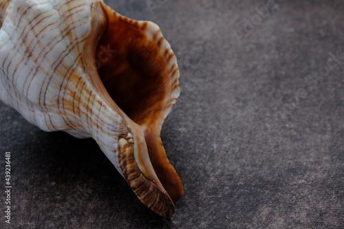 sea shell on a black background Fototapet