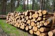 Leśne drewno przygotowane do transportu