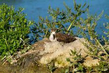 Black Winged Stilt Wading Bird European Swamps Migratory