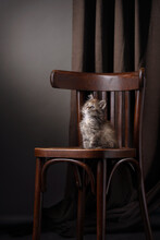 Maine Coon Kitten On A Vintage Chair, On A Brown Background. Cat In Studio